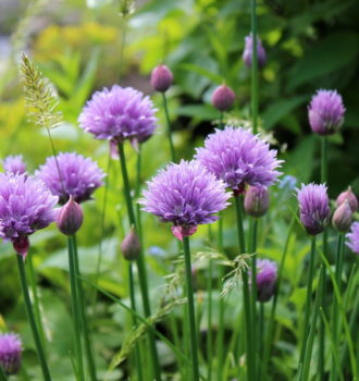 Chives: an edible flower